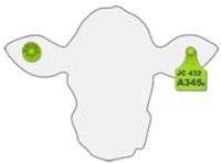Imagen de la caravana tarjeta en la oreja izquierda y la caravana botón en la oreja derecha de la vaca