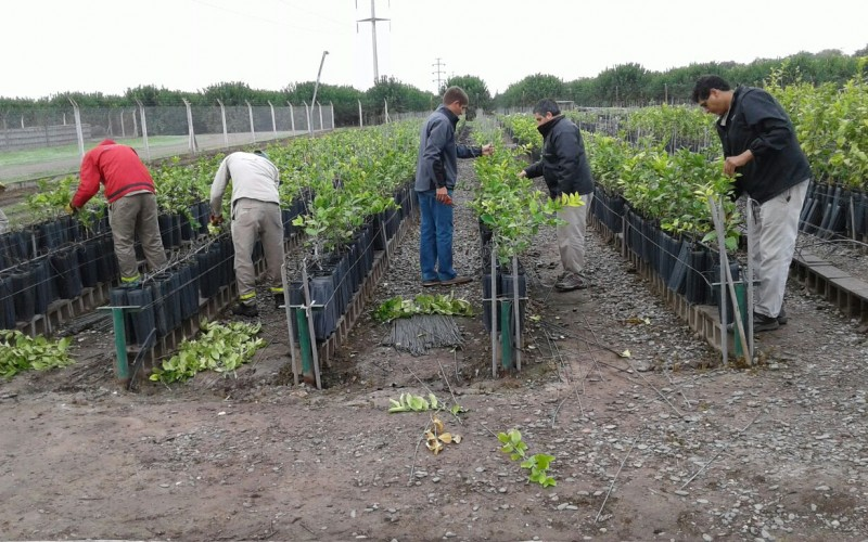 Destrucción de más de 17 mil plantas cítricas