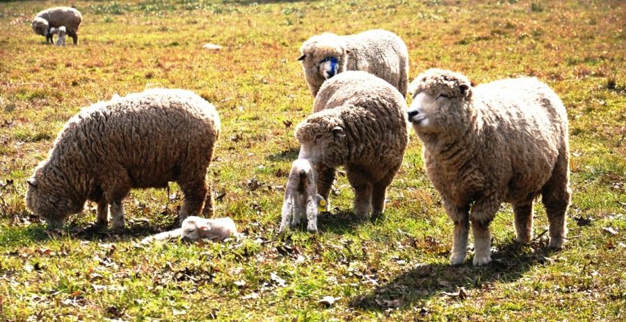 alimentacion de ovinos y caprinos pdf